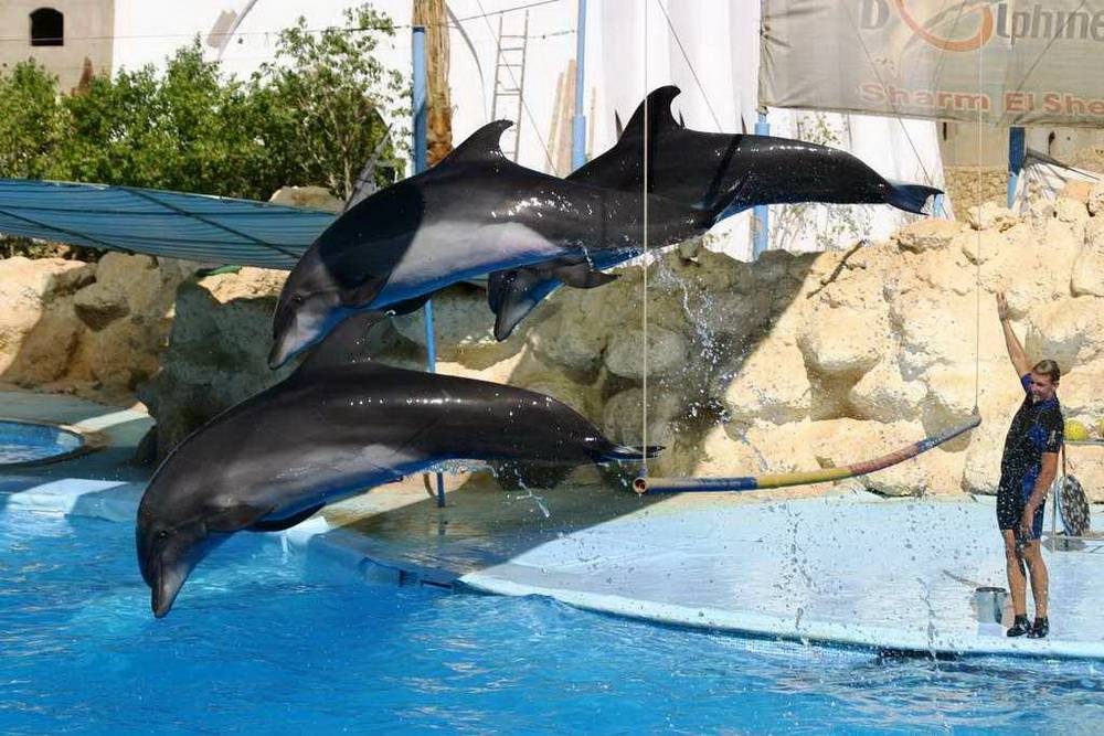 Click to enlarge image 1_Dolphin_Show_Sharm_main_photo.jpg
